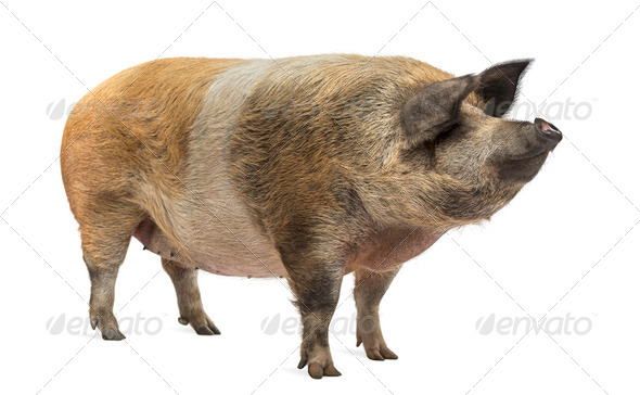 Domestic pig standing and looking away, isolated on white - Stock Photo - Images