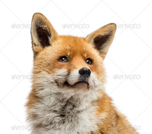 Close-up of a Red fox looking up, Vulpes vulpes, isolated on white - Stock Photo - Images
