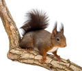 Red squirrel or Eurasian red squirrel, Sciurus vulgaris, standing on a branch, isolated on white - PhotoDune Item for Sale