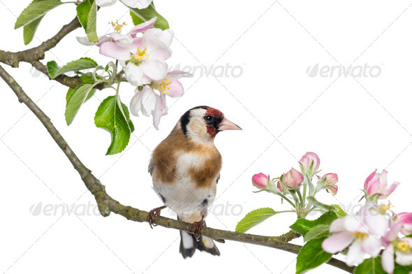 European Goldfinch, carduelis carduelis, perched on a flowering branch, isolated on white - Stock Photo - Images