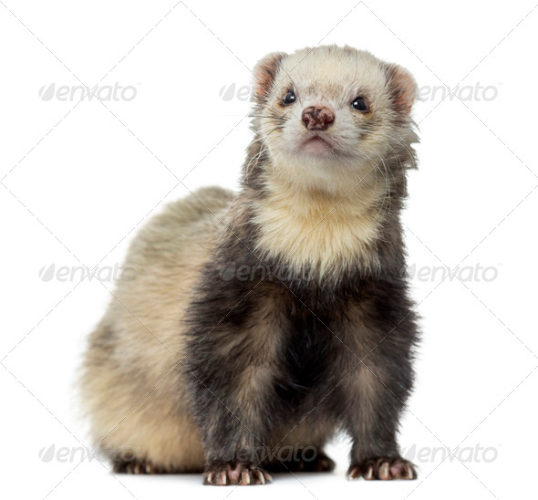 Ferret sitting, facing, isolated on white - Stock Photo - Images