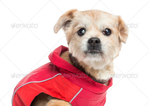 Close up of a ill dressed Crossbreed dog, isolated on white - Stock Photo - Images