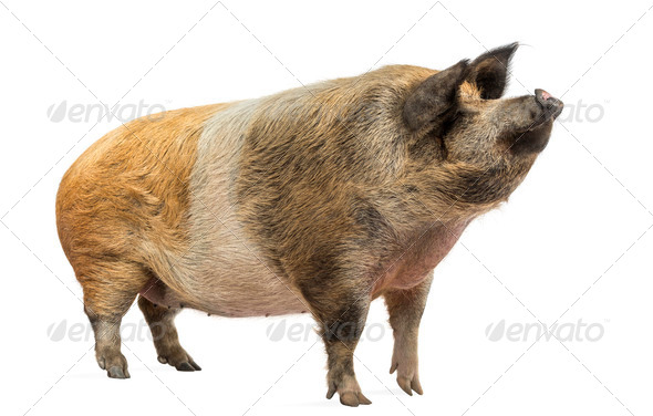 Domestic pig standing and looking up, isolated on white - Stock Photo - Images