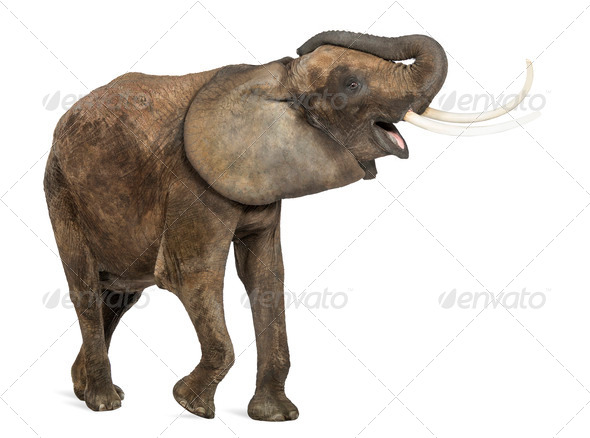 African elephant trumpeting, looking happy, isolated on white - Stock Photo - Images