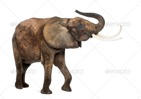 African elephant lifting its trunk, isolated on white - Stock Photo - Images