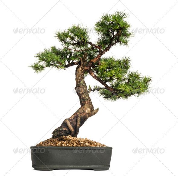 Larch bonsai tree, Larix, isolated on white - Stock Photo - Images