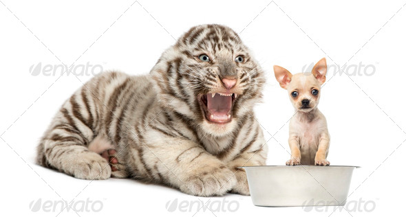 White tiger cub screaming at a Chihuahua puppy, isolated on white - Stock Photo - Images