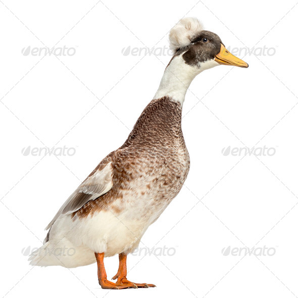 Male Crested Ducks, lophonetta specularioides, standing, isolated on white - Stock Photo - Images