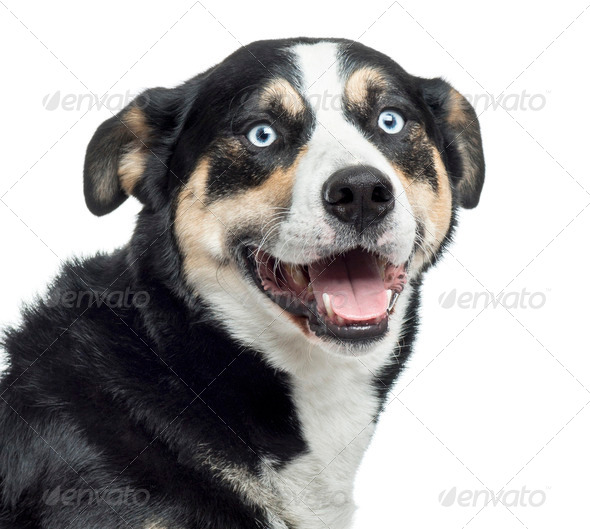 Close up of a Bernese Mountain Dog panting, isolated on white - Stock Photo - Images
