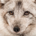 Close-up of a Arctic fox, Vulpes lagopus, also known as the white fox, polar fox or snow fox - PhotoDune Item for Sale