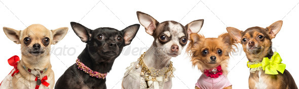 Group of dressed up Chihuahuas, isolated on white - Stock Photo - Images