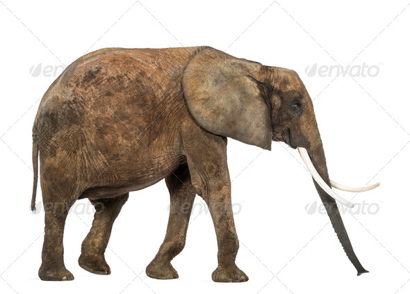 Side view of an African elephant, isolated on white - Stock Photo - Images