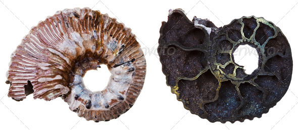 two sides of Fossil ammonite shell - Stock Photo - Images