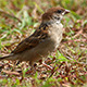 House Sparrow (Passer Domesticus) Close Up 1 - VideoHive Item for Sale