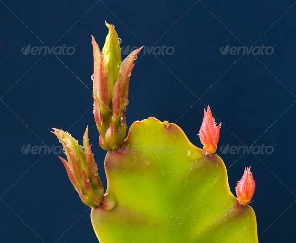 Red and Green Buds of a Succulent Plant - Stock Photo - Images