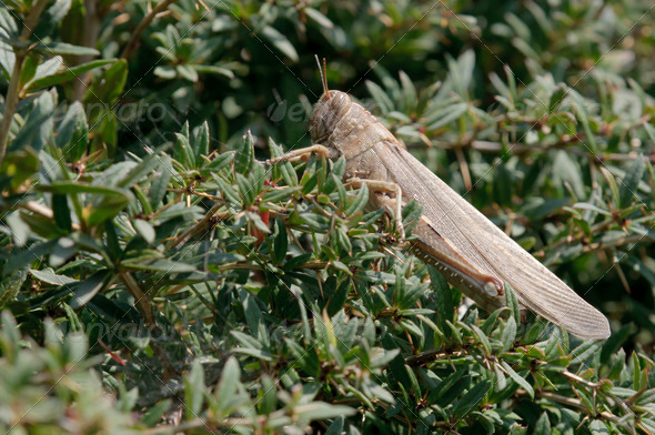 Brown Locust - Stock Photo - Images