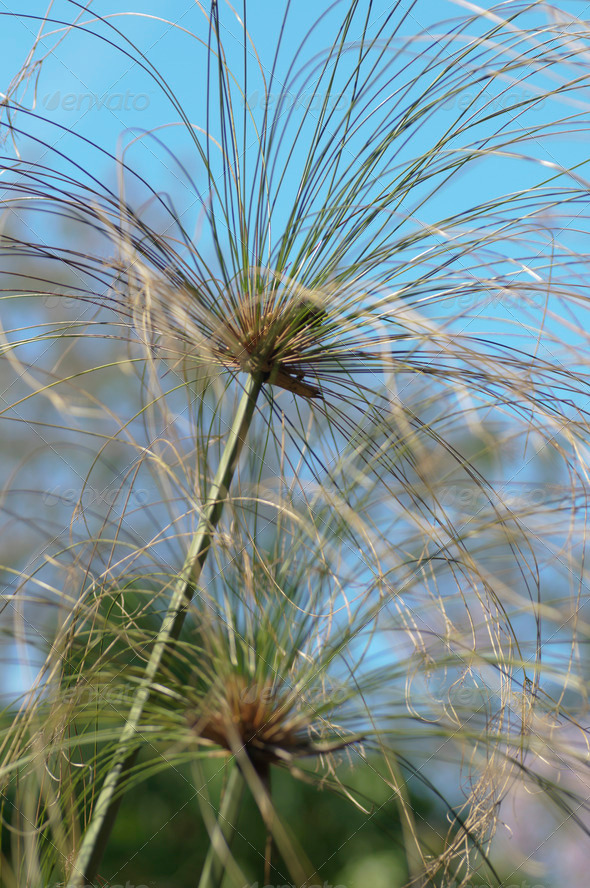 Papyrus Reed Plant - Stock Photo - Images