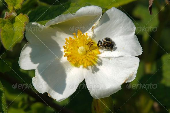Black Spider on White Flower - Stock Photo - Images