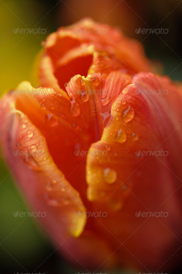 Tulip Flower Closeup - Stock Photo - Images