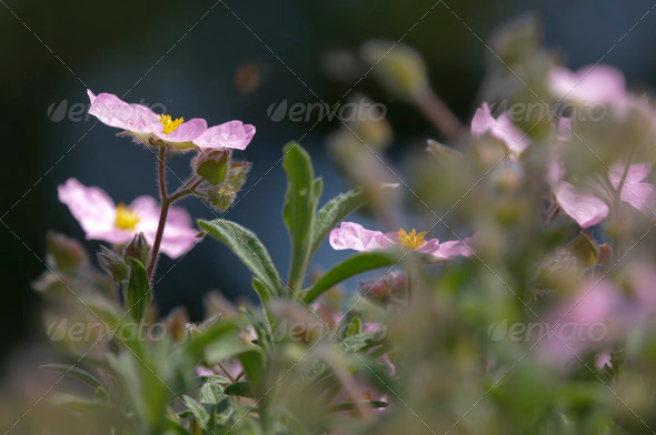 Pink Cistus Flower - Stock Photo - Images