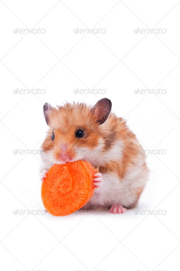 red hamster on white - Stock Photo - Images