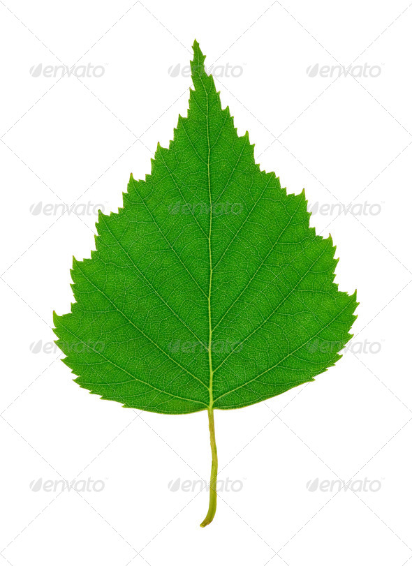 Birch Leaf - Stock Photo - Images