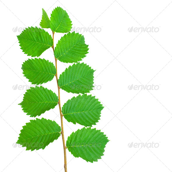 Branch With Leaves - Stock Photo - Images