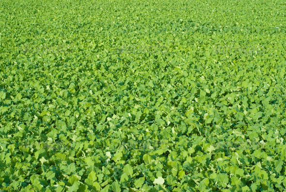 Beetroot Field - Stock Photo - Images