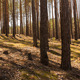 Pine Forest TimeLaps - VideoHive Item for Sale