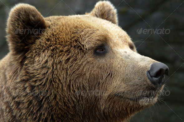 Male Brown Bear - Stock Photo - Images