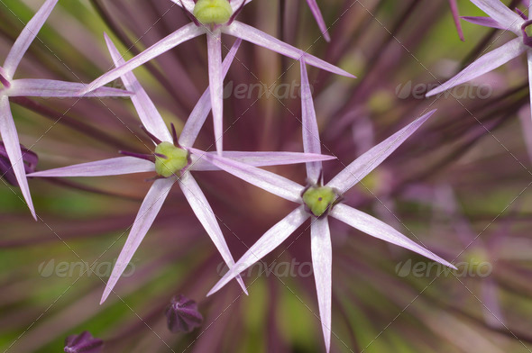 Star-shaped Pink Flowers - Stock Photo - Images