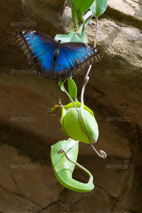 Blue Morpho Butterfly - Stock Photo - Images