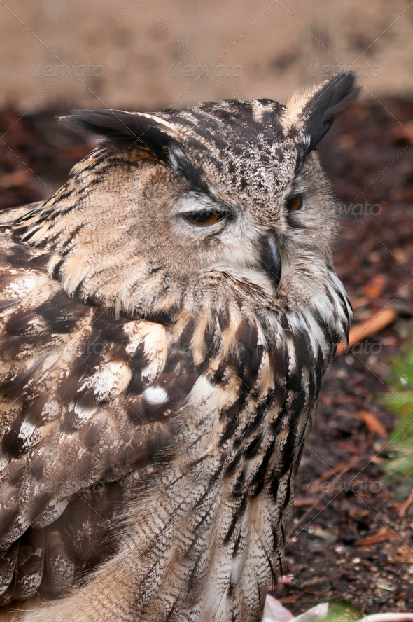 Eurasian Eagle-owl (Bubo bubo) - Stock Photo - Images