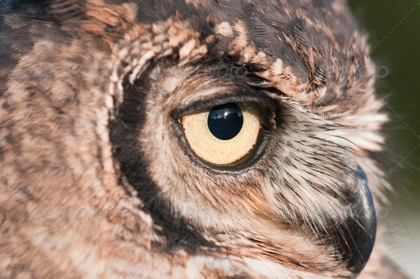 American Owl - Stock Photo - Images