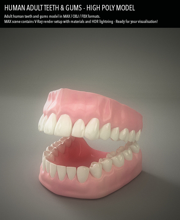 Teeth & Gums - Human Adult - 3DOcean Item for Sale