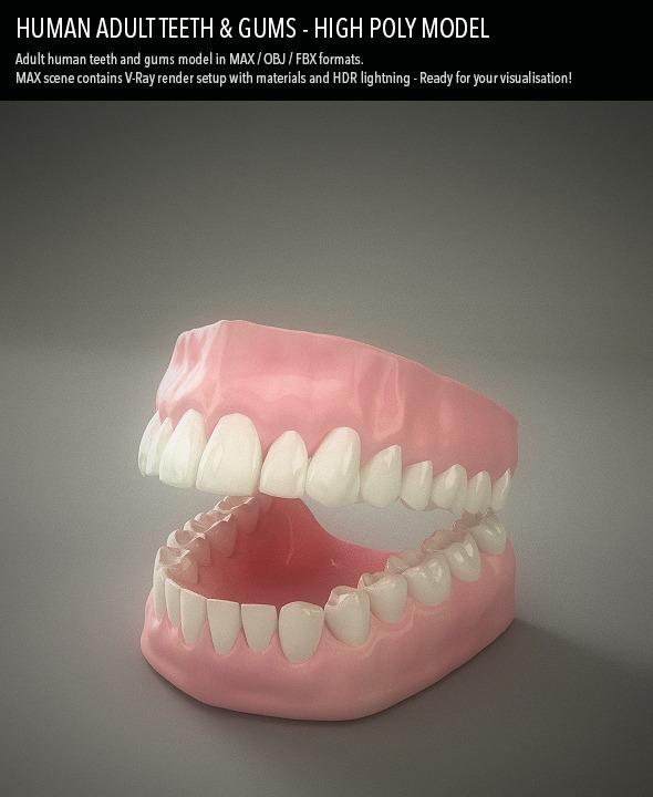 Teeth & Gums - Human Adult by tomislavn | 3DOcean