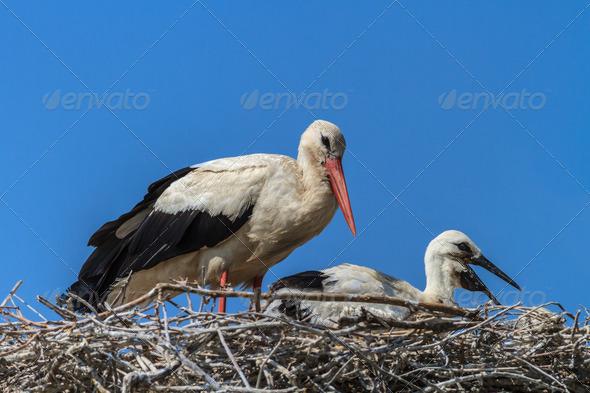 white storks - Stock Photo - Images