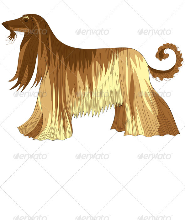 Dog Afghan hound breed - Animals Characters