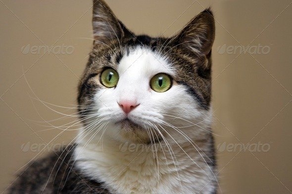 Tabby with white looking - Stock Photo - Images