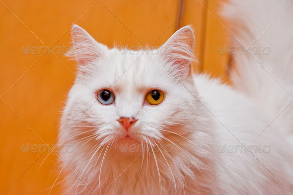 Bi-colored eye white cat - Stock Photo - Images