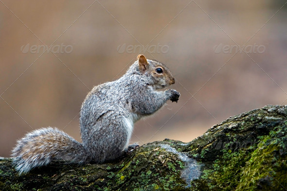 Squirrel eating - Stock Photo - Images