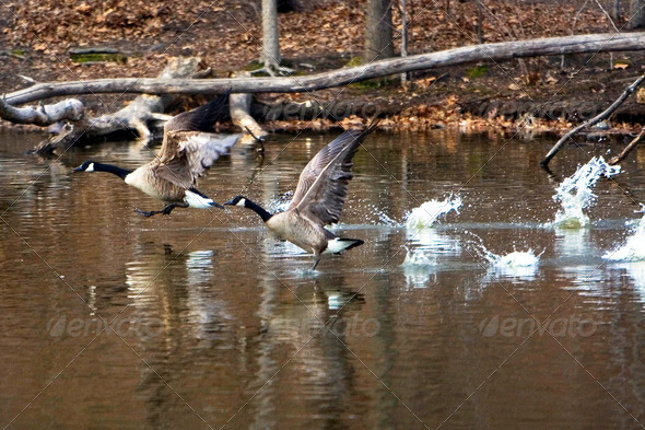 Geese Take-Off flying - Stock Photo - Images