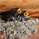 Swallows - VideoHive Item for Sale