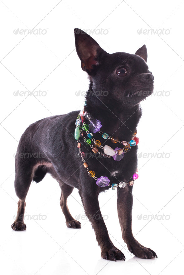 blzack chihuahua - Stock Photo - Images