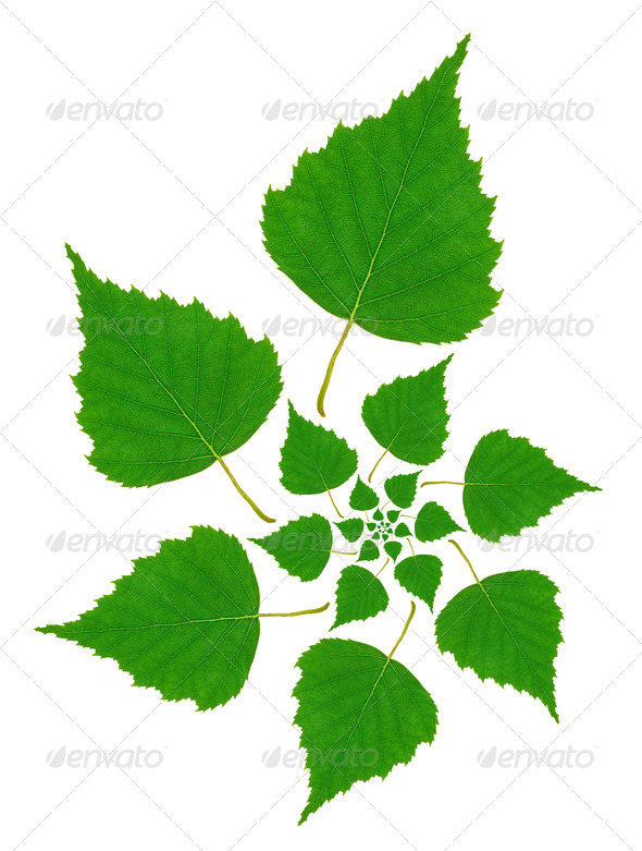 Birch Leaf Pattern - Stock Photo - Images