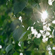 The Rays Of the Sun Through the Leaves - VideoHive Item for Sale