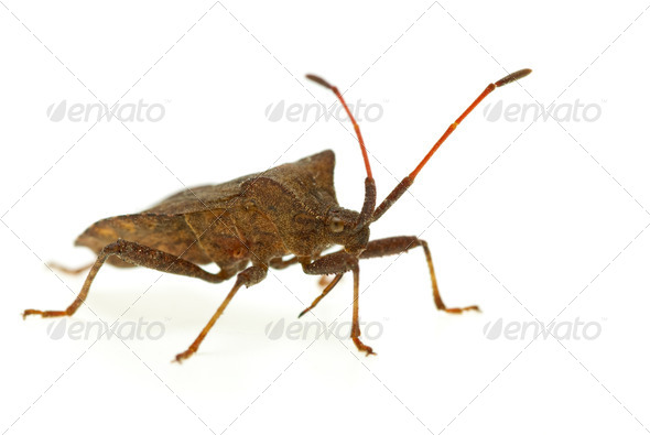Stinkbug (Picromerus Bidens) - Stock Photo - Images
