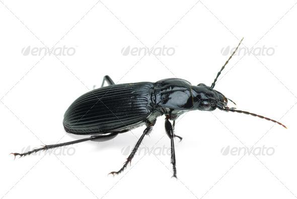 Black carabus beetle - Stock Photo - Images
