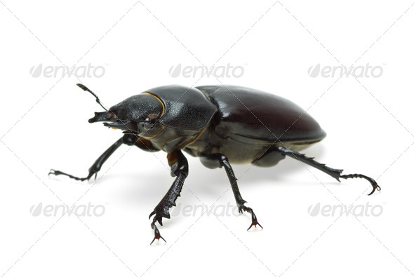 Female stag beetle - Stock Photo - Images