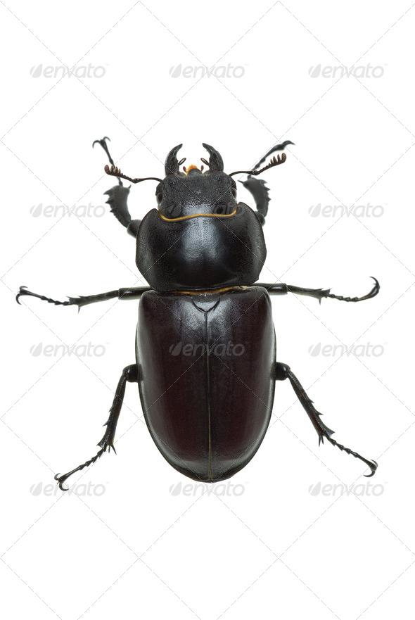 Crawling  female stag beetle (Lucanus cervus) - Stock Photo - Images
